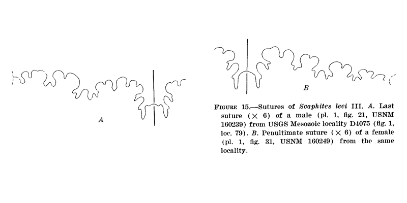 <i>Scaphites leei</i> from Cobban 1969.