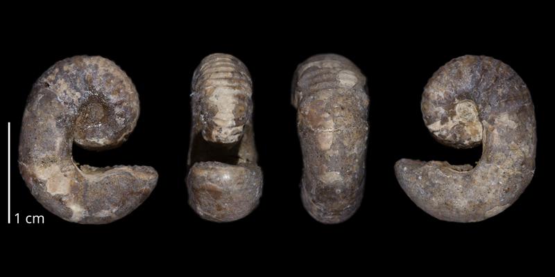 Holotype of <i>Scaphites leei</i> (USNM 73356).