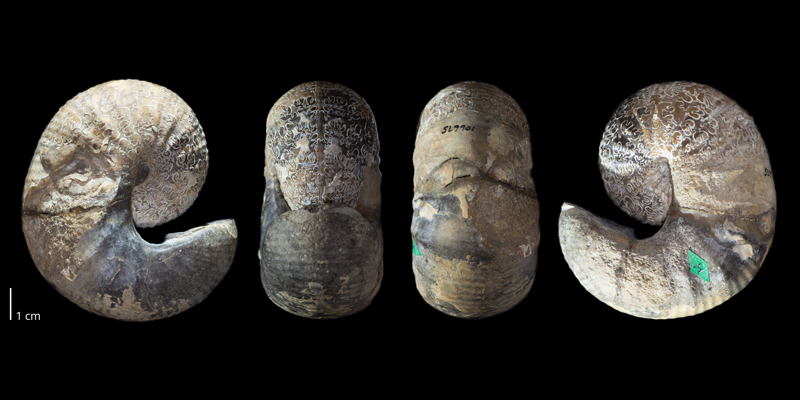 Holotype of <i>Scaphites preventricosus</i> (USNM 106675). Original unmodified images provided by courtesy of the Smithsonian NMNH and adapted and presented here under a Creative Commons BY-NC 4.0 license (NMNH GUID http://n2t.net/ark:/65665/395b5db58-a2a8-437d-b478-bbae796f3d87).