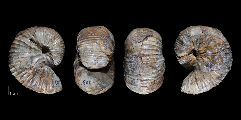 Syntype of <i>Scaphites ventricosus</i> (USNM 1903). Original unmodified images provided by courtesy of the Smithsonian NMNH and adapted and presented here under a Creative Commons BY-NC 4.0 license (NMNH GUID http://n2t.net/ark:/65665/39f4aa107-c810-4e28-b2ce-36aa9ab9e050).