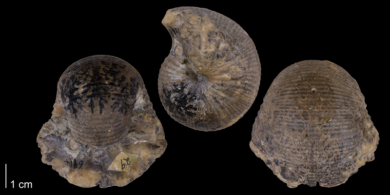 Holotype of <i> Scaphites ventricosus </i> from the Late Cretaceous Frontier Fm. of Park County, Wyoming (YPM 6414).