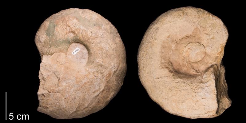 <i>Vascoceras birchbyi</i> (FHSM 1416a).