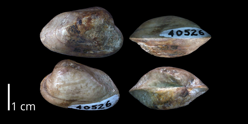 <i>Arctica compacta</i> from the Buda Limestone of Travis County, Texas (UT 40526).