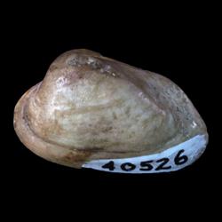 Arcticidae