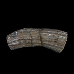 Eoradiolites quadratus
