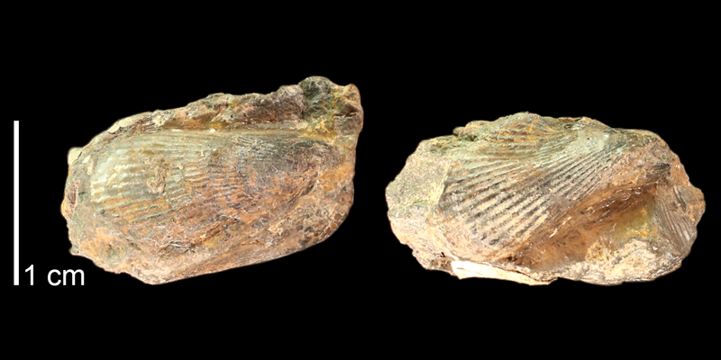 Holotype of <i>Brachidontes nonbifurcus</i> from the Kiowa Formation of Saline County, Kansas (KUMIP 500067).