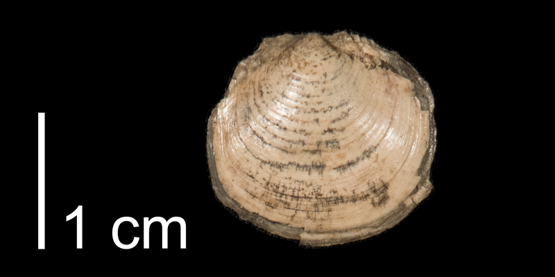 <i>Ctena imbricatula</i> from the Pierre Shale of Meade County, South Dakota (FHSMIP 1319).