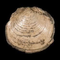 Lucinida