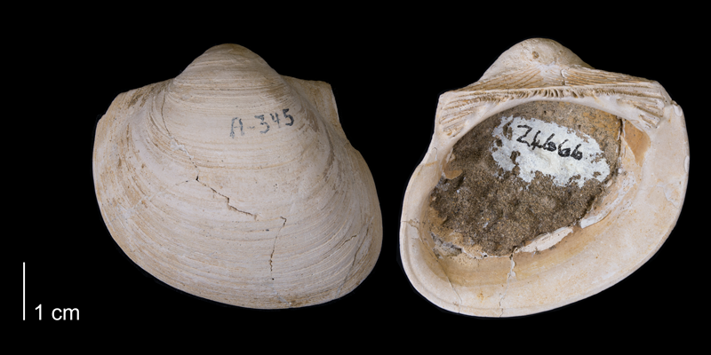 <i>Cucullaea nebrascensis</i> from the Fox Hills Formation of Dewey County, South Dakota (YPM 24666).