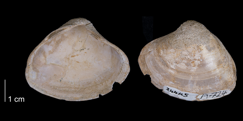 <i>Cymbophora warrenana</i> from the Fox Hills Formation (Timber Lake Member) of Corson County, South Dakota (YPM 24445).