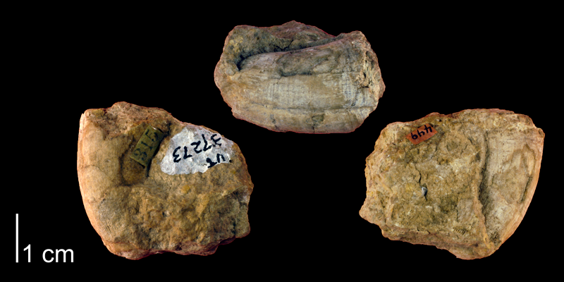 Syntype of <i>Hippurites flabellifer</i> from the Cretaceous of Stonewall County, Texas (Univ. Texas 37273).