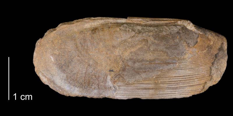 <i>Legumen planulatum</i> from the Fox Hills Formation of Carbon County, Wyoming (YPM 339533).