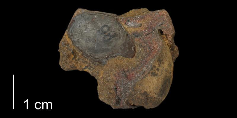 Syntype of <i>Linearis kansasensis</i> from the Kiowa Formation of Saline County, Kansas (KUMIP 500228).