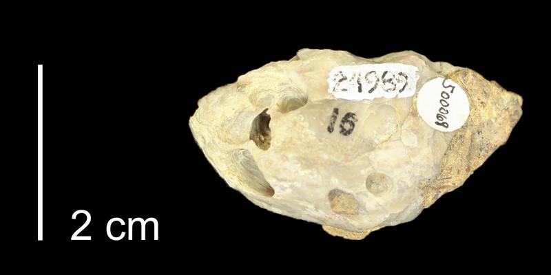 Syntype of <i>Lithophaga interrogatum</i> from the Kiowa Formation of Kiowa County, Kansas (KUMIP 500069).
