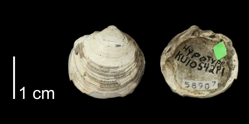 <i>Lucina juvenis</i> from the Carlile Shale (Blue Hill Shale Member) of Smith County, Kansas (KUMIP 58907).