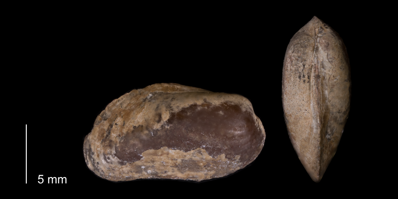 <i>Modiolus meeki</i> from the Fox Hills Formation (Trail City Member) of Dewey County, South Dakota (YPM 24107).