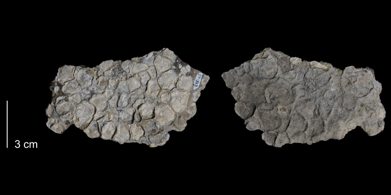 <i>Mytiloides labiatus</i> from the Greenhorn Formation (Pfeifer Member) of Russell County, Kansas (FHSMIP 363).