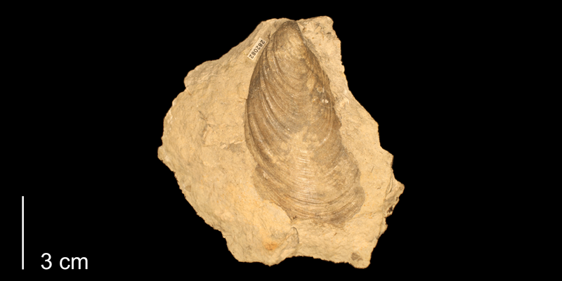 <i>Mytiloides mytiloides</i> from the Greenhorn Limestone (Jetmore Chalk Member) of Russell County, Kansas (KUMIP 282082).
