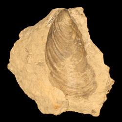Mytiloides mytiloides