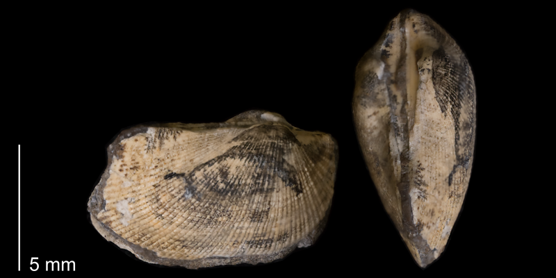 <i>Parallelodon sulcatinus</i> from the Fox Hills Formation of Dewey County, South Dakota (YPM 24026).