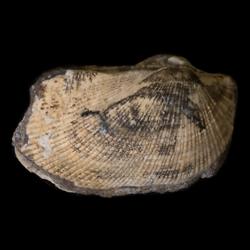 Parallelodon sulcatinus