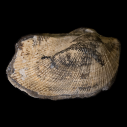 Parallelodontidae