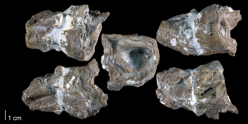 Holotype of <i>Praeradiolites edwardsensis</i> from the Edwards Formation of Bell County, Texas (Univ. Texas BEG 20664).