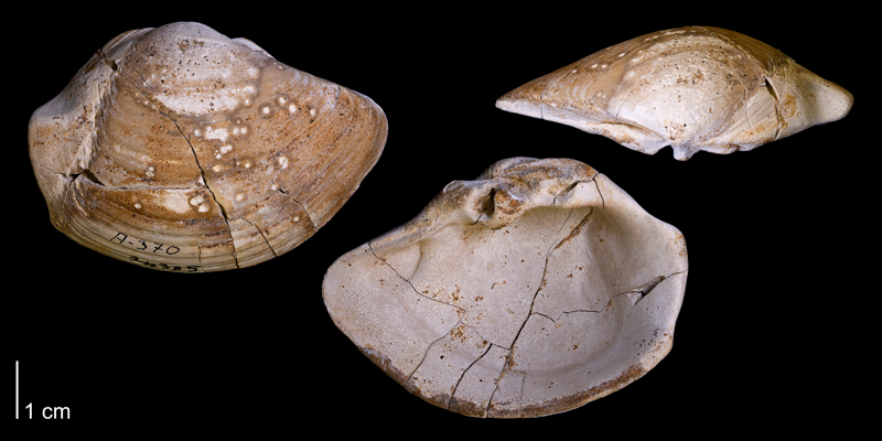 <i>Tancredia americana</i> from the Fox Hills Formation of Corson County, South Dakota (YPM 24385).