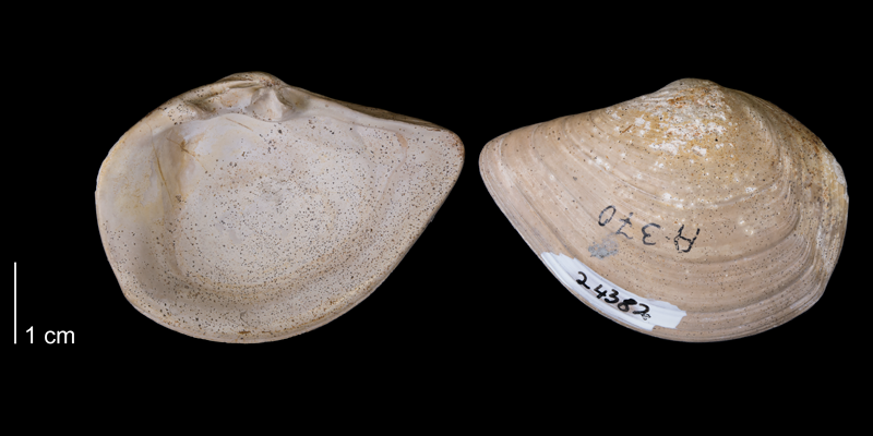 <i>Tancredia americana</i> from the Fox Hills Formation of Corson County, South Dakota (YPM 24382).