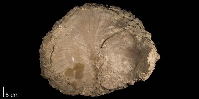 <i>Volviceramus grandis</i> from the Niobrara Formation (Smoky Hill Member) of Kansas (FHSMIP 727).