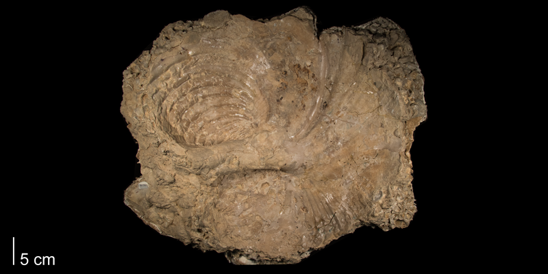 <i>Volviceramus involutus</i> from the Niobrara Formation (Smoky Hill Member) of Ellis County, Kansas (FHSMIP 1790).