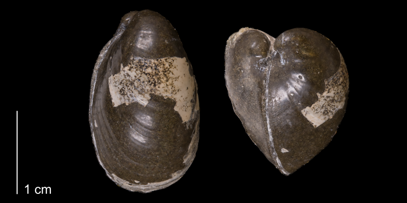 <i>Crenella elegantula</i> from the Fox Hills Formation (Trail City Member) of Corson County, South Dakota (YPM 24096).
