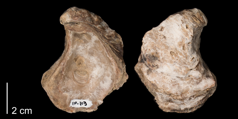 <i>Crassostrea kiowana</i> from the Kiowa Formation of Clark County, Kansas (FHSMIP 713).