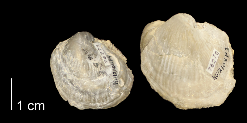 <i>Exogyra columbella</i> from the Graneros Shale of Russell County, Kansas (KUMIP76270-76271).