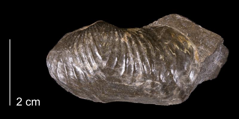 <i>Goniomya americana</i> from the Fox Hills Formation of Dewey County, South Dakota (YPM 24148).