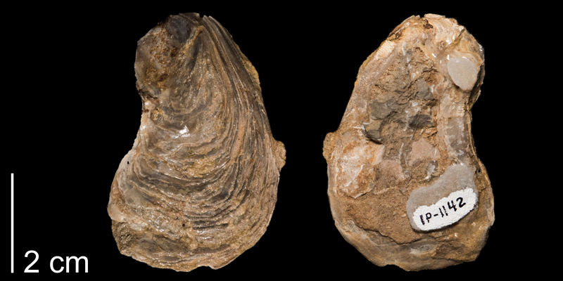 <i>Gryphaea corrugata</i> from the Kiowa Formation of Kansas (FHSMIP 1142).
