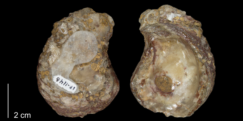 <i>Gryphaea corrugata</i> from the Kiowa Formation of Kiowa County, Kansas (FHSMIP 1146).