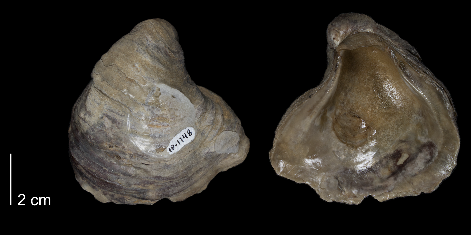 <i>Gryphaea corrugata</i> from the Kiowa Formation of Kiowa County, Kansas (FHSMIP 1148).