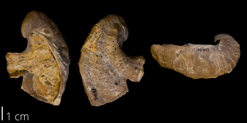 <i>Gryphaea mucronata</i> from the Early Cretaceous Del Rio Formation of Denton County, Texas (YPM 538025).