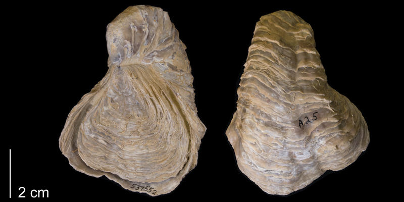 <i>Gryphaea mucronata</i> from the Early Cretaceous Del Rio Formation of Denton County, Texas (YPM 537552).