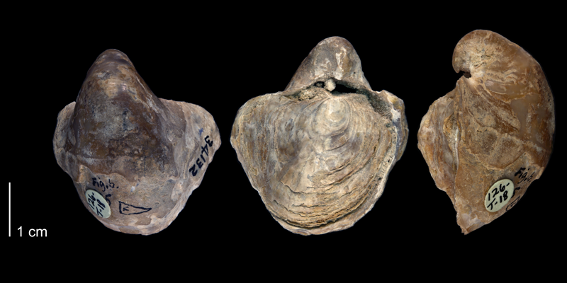 <i>Gryphaea washitensis</i> from the Denton Formation of Johnson County, Texas (UT BEG 34132).