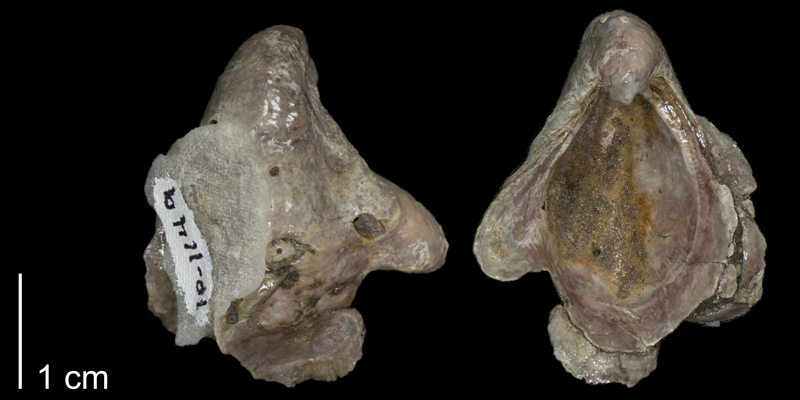 <i> Gryphaea washitensis </i> from the Kiowa Fm. of Kiowa County, Kansas (FHSMIP 1149).