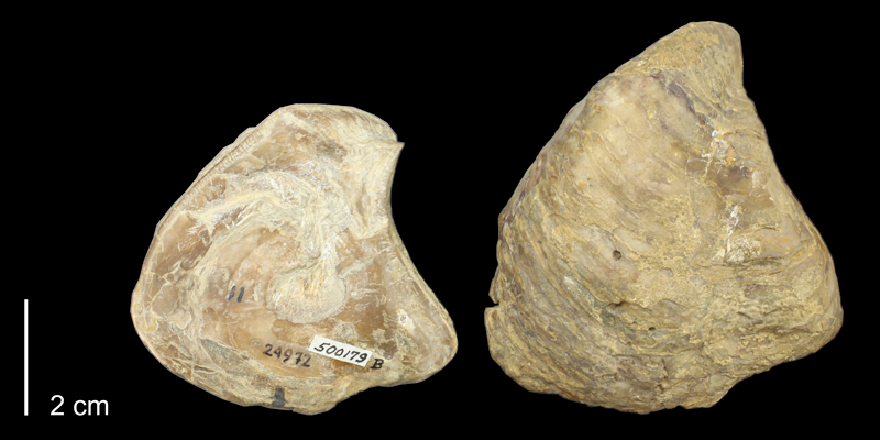 <i>Gryphaea corrugata</i> from the Kiowa Formation of Kiowa County, Kansas (KUMIP 500179).