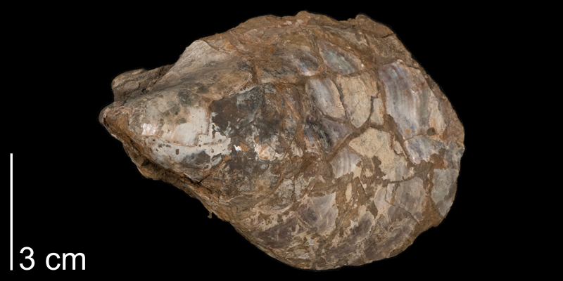 <i>Inoceramus balticus</i> from the Carlile Formation (Blue Hill Member) of Smith County, Kansas (FHSMIP 592).