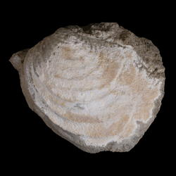 Inoceramus balticus