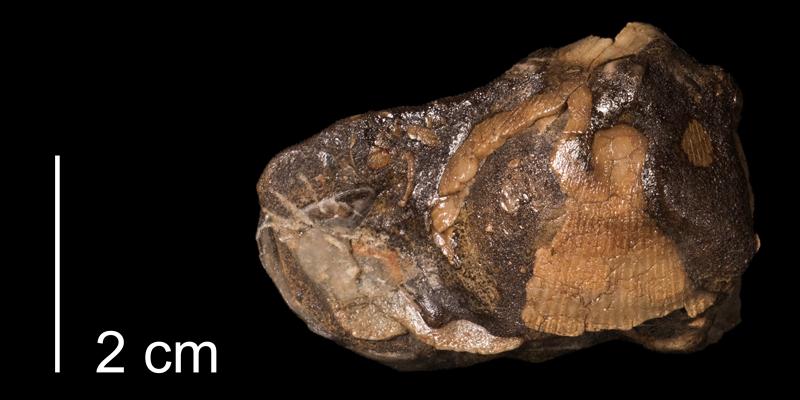<i>Leptosolen otternsis</i> from the Kiowa Formation of Kiowa County, Kansas (FHSMIP 1152).