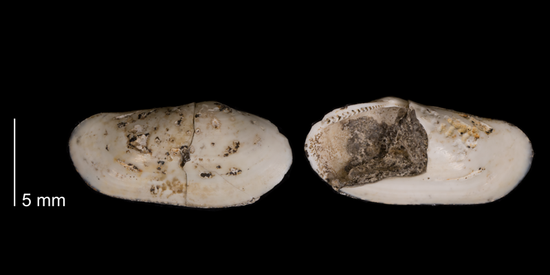 <i>Malletia evansi</i> from the Fox Hills Formation (Timber Lake Member) of Dewey County, South Dakota (YPM 23981).