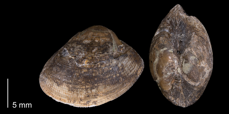 <i>Nucula cancellata</i> from the Fox Hills Formation (Timber Lake Member) of Dewey County, South Dakota (YPM 23947).
