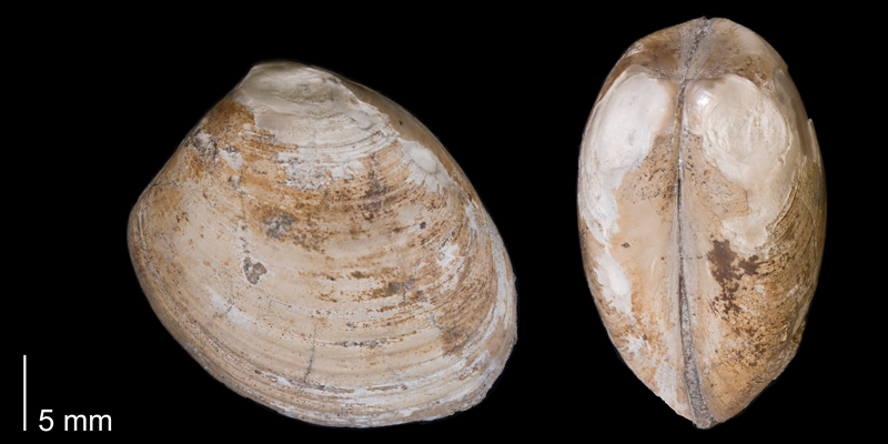 <i>Nucula planimarginata</i> from the Fox Hills Formation (Timber Lake Member) of Corson County, South Dakota (YPM 23955).
