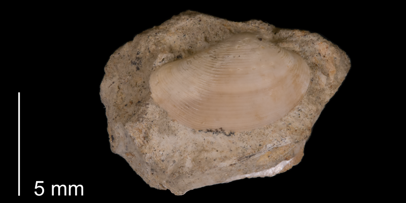 <i>Nuculana scitula</i> from the Fox Hills Formation (Trail City Member) of Ziebach County (South Dakota) (YPM 23970).